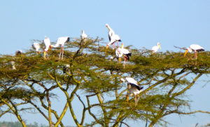 Yellow-billed Storks in Acacia
